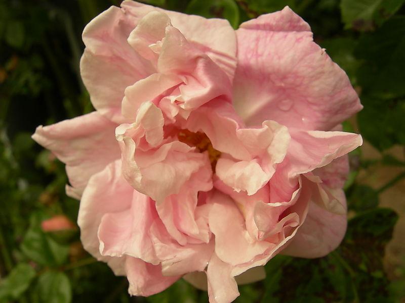 Rose garden  08 006