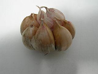 Garlic tasting 1