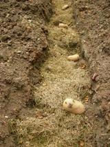 Potato_planting_002
