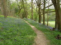 Bluebells_22_april_001_2