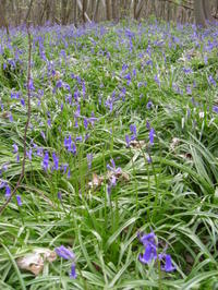 Bluebells_22_april_002