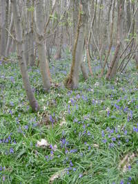 More_bluebells_22_april_003