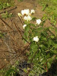 Pilgrim_rose_002_3