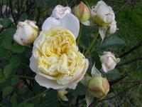 Pilgrim_rose_004